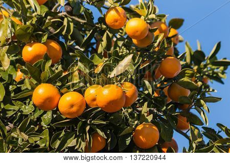 close up of clementines ripening on tree