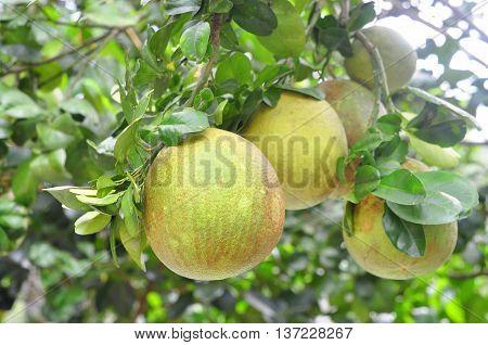 Grapefruit on the tree in garden in asia