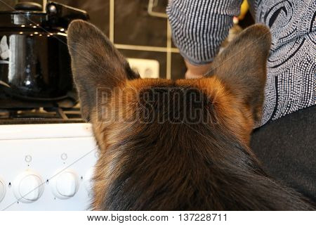 German Shepherd Dog Waiting For Food In The Kitchen
