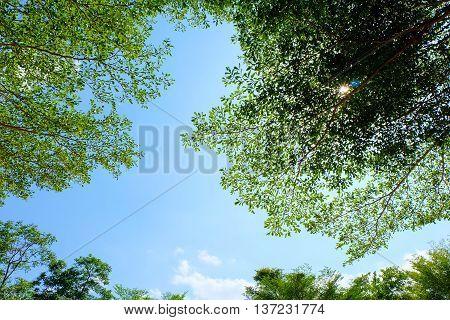 Leaves of Ivory Coast almond on blue sky.