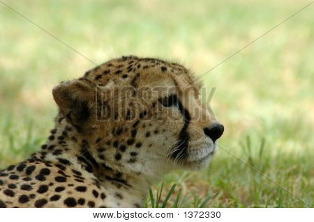 Cheetah In Africa