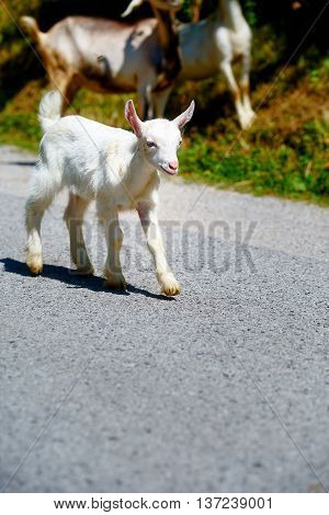 Little Baby Goat With Goat Herd Walking On The Mountain Road.