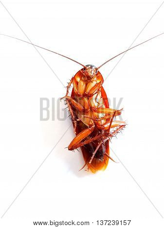 Cockroach Lying Flat On A White Background.