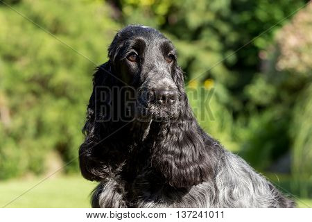 Outdoor Portrait Of English Cocker Spaniel