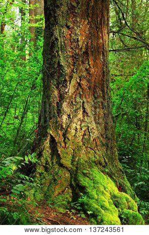 a picture of an exterior Pacific Northwest old growth Douglas fir tree