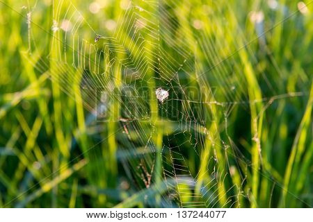 cobweb on the background of grass at dawn