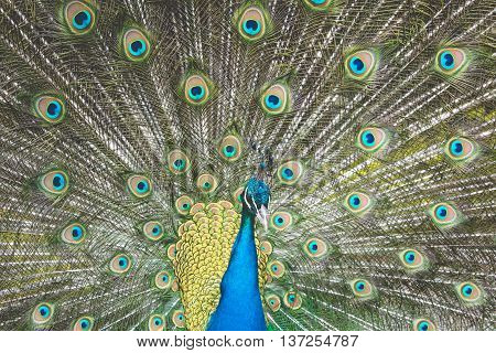 Peacock with beautiful expanded feathers. Close up