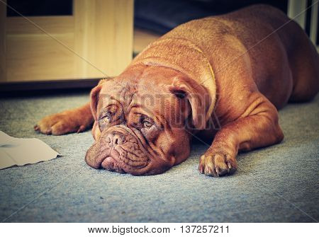 Big Dog - Dogue De Bordeaux - French Mastiff