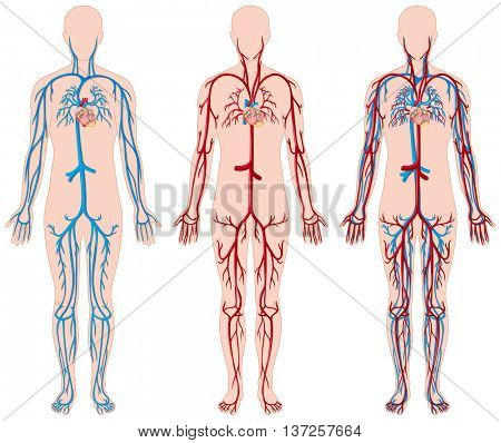 Different diagram of blood vessels in human illustration