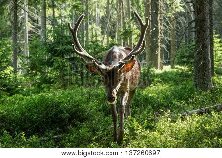 Portrait of majestic powerful adult red deer cervus elaphus among the trees in a forest in Sumava Bohemia Czech republic