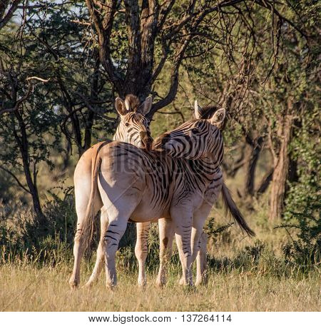 A pair of Burchell's Zebra in Southern African savannah
