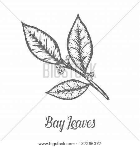 Bay Leaf Laurel Plant Branch Seed. Hand Drawn Sketch Vector Illustration Isolated On White. Spicy He