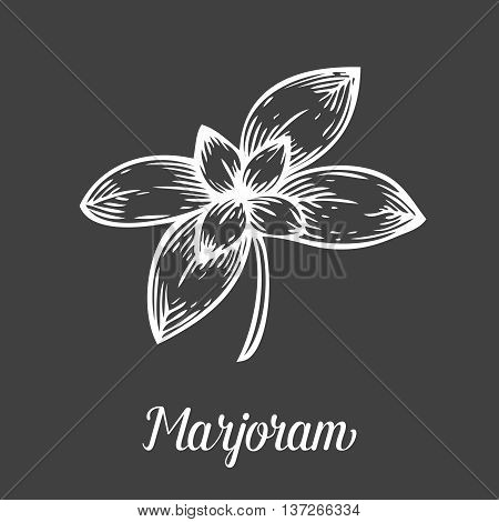 Marjoram Plant Branch Leaf. Hand Drawn Sketch Vector Illustration Isolated On Black. Spicy Herbs. Ma