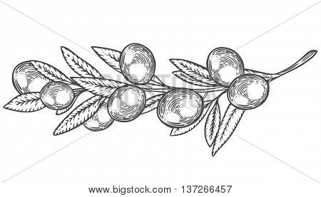 Olive Branch With Berry And Leaf Diet Plant Superfood Ingredient. Natural Organic Hand Drawn Vector