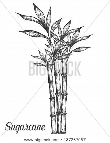 Sugar Cane Stem Branch And Leaf Vector Hand Drawn Illustration. Sugarcane Black On White Background.