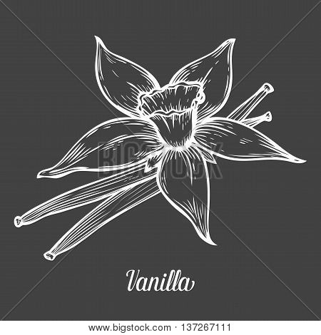 Vanilla Flower Seed Plant Branch Leaf. Hand Drawn Sketch Vector Illustration Isolated On Black. Spic