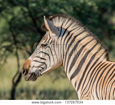 A portrait of a Burchell's Zebra standing in savannah in Southern Africa
