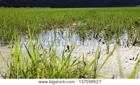 a flooded Rice crop in Piedmont, Italy