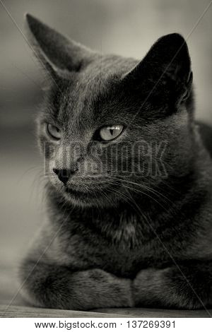 feline cat short haired silver grey serene