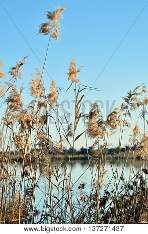 Reed Grasses By A Lagoon In Natural Park El Hondo, Elche, Alicante Province, Spain