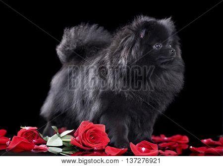 pomeranian spitz black colors