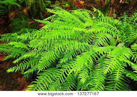 a picture of an exterior Pacific Northwest sword ferns in summer
