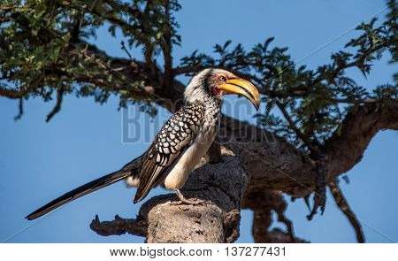 A Yellos-billed Hornbill perched on a branch in a tree in Southern Africa