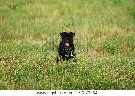 Black Miniature Schnauzer Dog