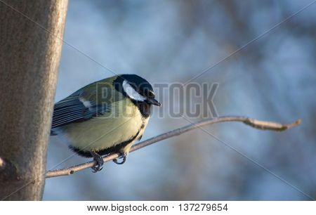 Clever little blue tit sitting on a branch on a winter morning.