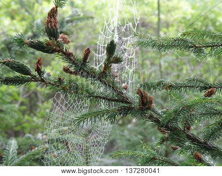 Spider webs hanging from branches of an evergreen tree.