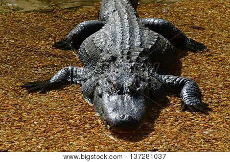 Alligator resting in a bed of stones with shallow water.
