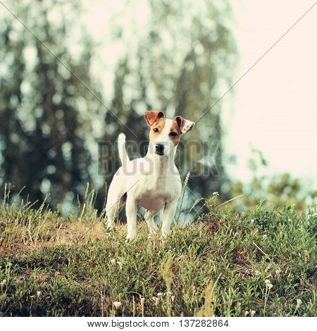 Jack Russell Terrier Beautiful Small Dog