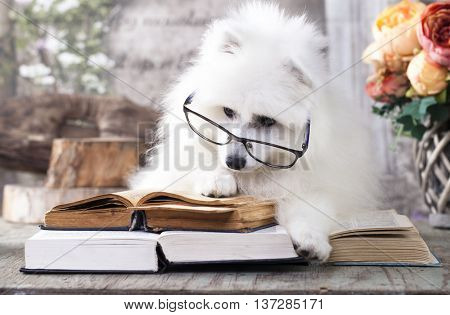 White Japanese Spitz reading a book with glasses