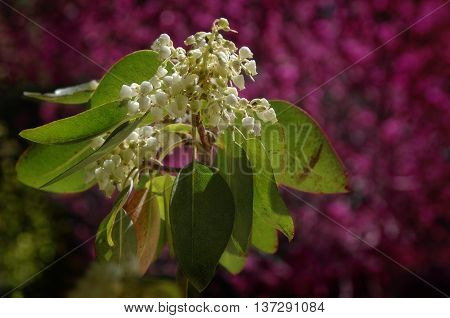 Flowering madrone tree, with redbud blossoms in the background.