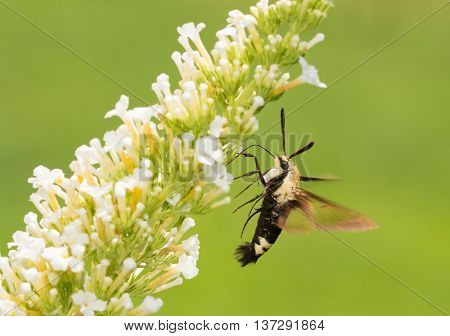 Hemaris diffinis, Snowberry Clearwing moth in flight, feeding on white Butterfly bush flowers