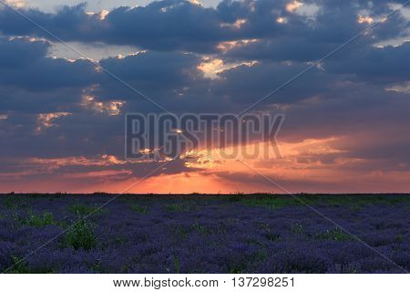Photo of purple flowers in a lavender field in bloom at sunset with rays of red light in the clouds moldova