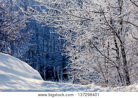 fairytale winter forest, trees in the snow