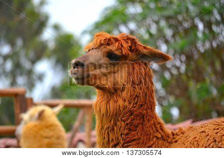 Hermosa alpaca peruana en zoológico local vida salvaje