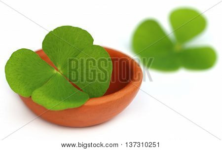 Clover leaf in a clay pottery over white background