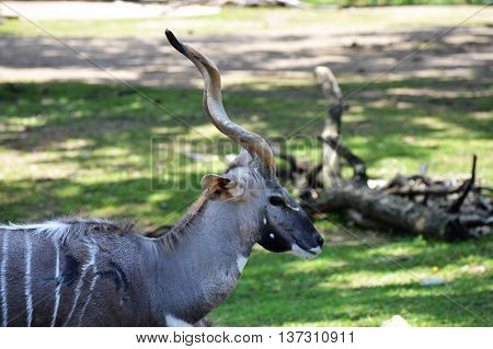 A kudu grazing in the green grass