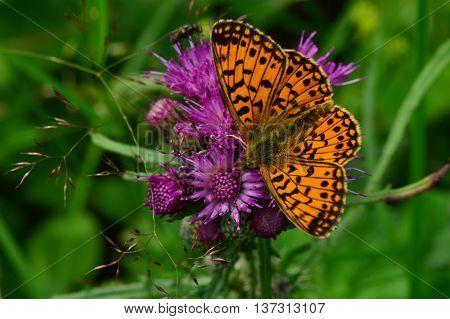 Butterfly sat on a purple thistle flower