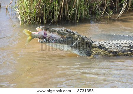 Large nile crocodile eat a fish on the river bank