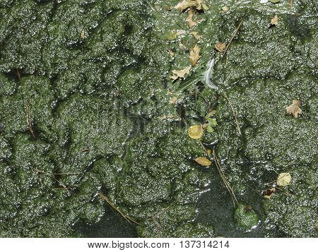 A pond surface filled with thick green slime.