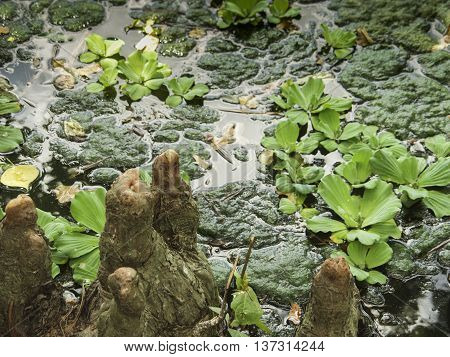 A pond with a slimy bank and cypress knees.