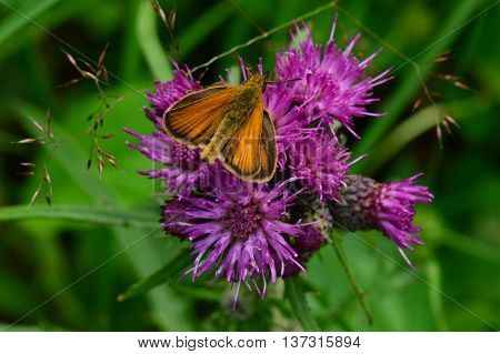 The butterfly collecting pollen on a purple wild flower in bloom