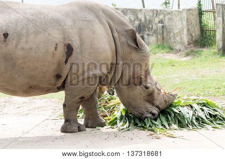 Rhinoceros In The Park