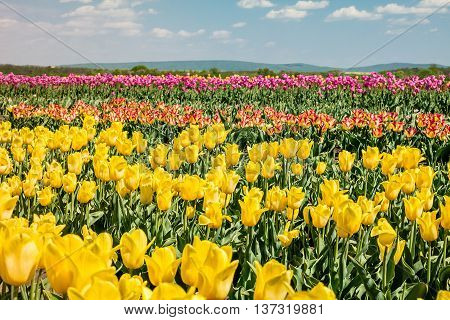 Tulip field. Field with yellow and pink tulips. Group of yellow and pink tulips in the park. Spring landscape.