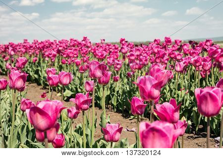 Tulip field. Field with pink tulips. Group of pink tulips in the park. Spring landscape.