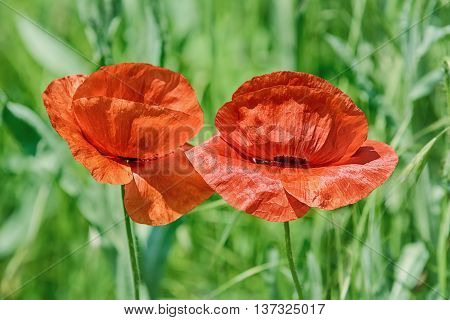 Red Poppy Flowers against of the Grass