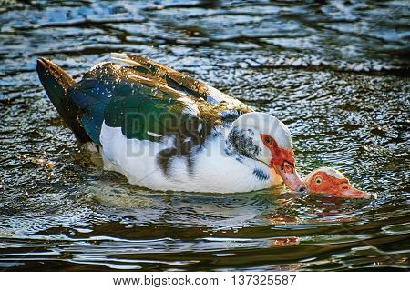 Two Ducks Coupling in the Water at the Lake